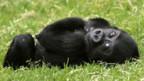 Gorillakinder brauchen viel körperliche Nähe - in einer Auswilderungsstation kann das zum Verhängnis werden.