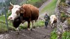 Kuh beim sommerlichen Aufstieg auf die Engstligenalp.
