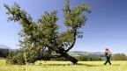 2007 mussten in der Schweiz über 10 000 Bäume gerodet werden.