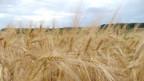 Der Preis für Weizen steigt seit Monaten an.