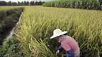 Kambodscha und Vietnam begrenzen die Ausfuhr von Reis.