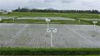 Ein Reis-Versuchsfeld auf den Philippinen.