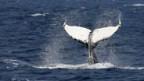 Japanische Walfänger töten jährlich rund tausend Wale.