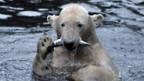 Eisbär Knut soll weg von Berlin.