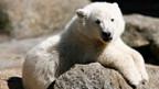 Eisbär Knut wurde zum Weltstar.