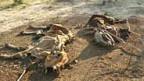 Überall in Kenia liegen verwesende Tierkadaver wegen der Dürre, wie in Mbalambala.