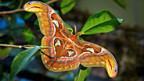 Schmetterlinge nicht nur im Schwimmsport: Atlasspinner