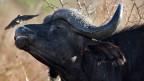 Den eigenen Büffel jagen zu dürfen lassen sich reiche Südafrikaner viel kosten.