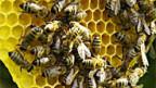Die Bienenzucht bringt der Schweizer Volkswirtschaft jährlich 300 Millionen Franken.