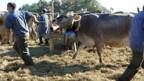 Auf dem Viehmarkt in Rehetobel-Wald AR.