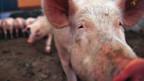 Der Bundesrat verschärft die Vorschriften zur Produktion von Schweinesuppe.