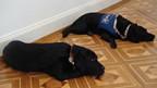 Blindenhunde warten im Museum.