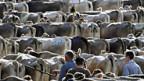 Agrarpolitik: Profitieren weiterhin vor allem Tierhalter? Viehschau in Wald-Rehetobel 2010.