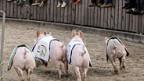 Das Scgweinerennen füllt jeden Nachmittag die Olma-Arena - seit Jahren.
