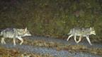 Am Berg Calanda sind sechs Wölfe unterwegs.