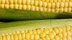Gen-Mais für Österreich.