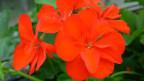 Betörend rot und sehr robust. «Die Schöne von Grenchen». Sie gilt als Favoritin bei halbhängenden Geranien.