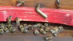 Die Oltner Stadt-Bienen sammeln die Pollen für ihren Honig in und um die Stadt.