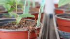 Im Forschungsinstitut für biologische Landwirtschaft in Frick wird unter anderem erfoscht, wie sich Apfelbaumsetzlinge gegen Schädlinge schützen lassen.