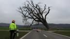 Am Samstagmorgen wurde in Tegerfelden die knapp 200-jährige Gigerlinde gefällt. Der Baum war krank.
