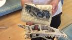 Die vor zehn Jahren in Frick gefundenen Dinosaurierskelette gehören zu einer neuen Raubsauriergattung, dies zeigen nun abgeschlossene wissenschaftliche Untersuchungen.