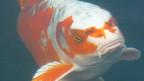 Ein Koi-Fisch frisst Futter
