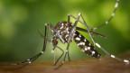 Die Tigermücke