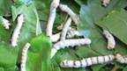 Seidenraupen fressen Maulbeerblätter