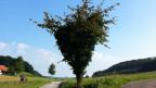 Der Kirschenbaum hat die Form eines Herzens. Er ist von Efeu überwuchert.