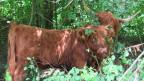 Schottische Hochlandrinder machen Landschaftspflege in Biel.