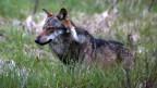 Walliser Wolf ist tot