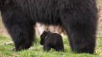 Der kleine Bär war zu filigran für seinen Vater.