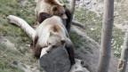 Bären auf Baumstamm liegend.