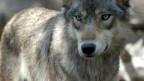 Ein Wolf hat vier Schafherden im Wallis angegriffen.