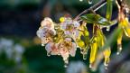 Obst: Kirschblüte von Eis umgeben