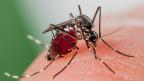 Erste Tigermücke im Wallis gefunden