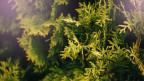 Thujapflanze