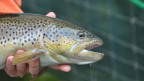 Die Ursachen für das Fischsterben bleiben ein Rätsel