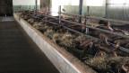 Puschlaver Ziegenbetrieb musste alle Tiere töten