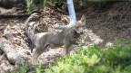 Wolfswelpen auf einer Wiese