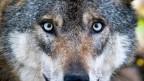 Eine Mehrheit der Urner Landräte will schärfere Massnahmen gegen den Wolf.