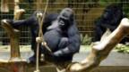 Gorilladame Goma im Zoo Basel erhält dank Matthias Eckenstein ein neues Affenhaus