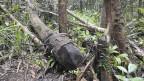 Illegal geschlagenes Tropenholz im Masoala Nationalpark.