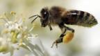 Eine Biene: Wertvoll für die Natur, aber auch wertvoll für die Imker.