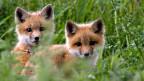 Füchse in ihrem Bau jagen: Eine kritisierte Methode
