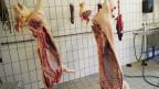 Das tote Schwein zur Zahnfleischregeneration im Mund.
