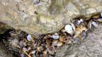Die Körbchenmuschel breitet sich aus am Bodensee