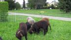 Auf dem Friedhof in Bümpliz weiden die ersten Schafe.