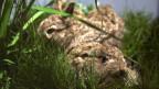 Junge Feldhasen im Gras