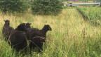 Umweltfreundlich und effizient: Den Rebberg mit Schafen pflegen.